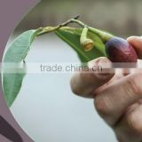 New crop Laurel Berry Oil , bay leaves seed oil ,cold press oil