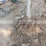 Inquiry about Paulownia stump,paulownia shan tong stump
