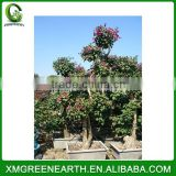 Bougainvillea spectabilis big bonsai (1)