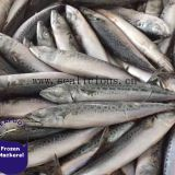 Sea Fish Pacific Mackerel Land Frozen on Sale (Size8-10PCS/KG,95% N.W)