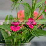 Love theme Sweet William new design fresh flowers cut foliage