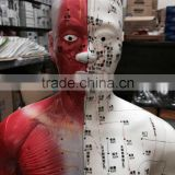High definition medical teaching model 85CM human semi muscle red and white acupuncture point model