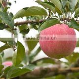 apple type and pome fruit product type fresh top red huaniu apples