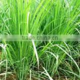 GINGER GRASS OIL,Good Quality Ginger Grass Oil