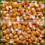 Yellow corn/Yellow maize for animal feed production