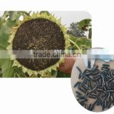 Beautiful grain appearance hybrid sunflower seeds