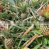 Fresh King Pineapples - AAA Quality - 2014 Crop