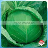 Hybrid F1 cabbage Seeds Kale Seed vegetable seeds for planting-Full Moon 53
