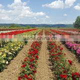Rose plants / Grafted rose plants