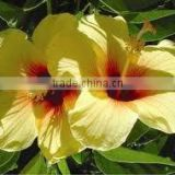 Hibiscus Rosa Sinensis dried flowers powder for cosmetics applications