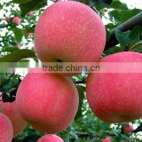 Fresh fruit red fuji apple best price exporter in china