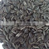 small and black sunflower seeds sunflower seeds for oil