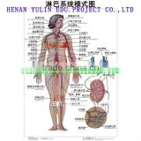 medical accessories Artpaper Medical wall chart--Circulation system,The lymphatic system of patterning
