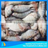 new fresh frozen red tilapia fish