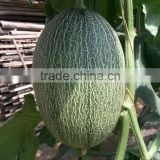 Hybrid muskmelon seeds hami sweet melon for sale No.7