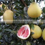 2016 new harvest seedless Pinghe guangxi Pomelo price