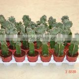 Grafted Cactus bonsai nursery