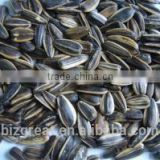 Chinese Raw Bulk Sunflower seeds 5009