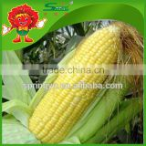 environmentally friendly fresh baby corn on sale