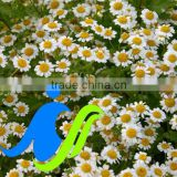High quality Natural herbal flower Chamomile Extract Manufacturer in bulk