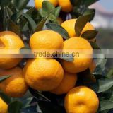 wholesale price fresh citrus oranges