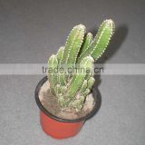 cereus fairy castle 5.5cm mini cactus succulent indoor plants bonsai nursery echinocactus grusonii cereus cacti opuntia dillenii