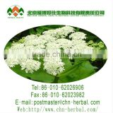 top quality herb plant reduce blood pressure 99%(%) Doubleteeth Angelica Root Extract