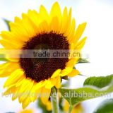 2016 selling big buds fresh cut sunflower flowers For weddings