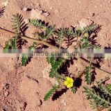 100% Natural Tribulus Terrestris Extract/Tribulus Terrestris/Tribulus Terrestris Extraction Powder