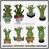 raw lucky bamboo pots outdoor landscape