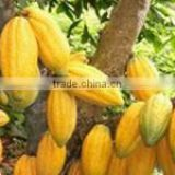 Very good cocoa beans forestaro from Ivory Coast