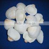 indian sea shells for art and crafts, kids crafts, home decor, sea shells,shell beads, indian sea shells