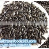 Black sunflower seed for oil 562
