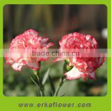 Cheap Fresh Cut Pink Carnation Wholesale