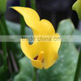 Colorful most popular fresh cut calla lily flowers and bouquets