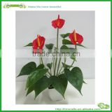 flower anthurium flowers and plants for sale
