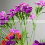 Colorful Sweet William cheap fresh flowers cut foliage