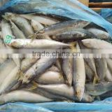 Land Frozen Pacific Mackerel for Canning,Lamp Catching Scomber Japonicus for Canned Fish