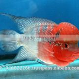 INquiry about FLOWERHORN FISH IN THAILAND ,BREEDING FARM AND EXPORT