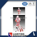 28cm 15parts human anatomy male torso