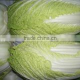 Fresh long Chinese cabbage best quality for exporting