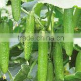 Hybrid high yield cucumber seeds Chinese vegetables seeds for planting-YR Oriental Sword