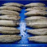 Skiness and decaptitating Frozen per-cooked bonito tuna loins(whole round)
