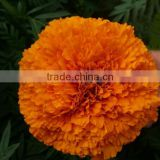 High quality F1 hybrid marigold flower seeds
