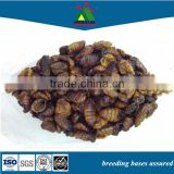 wholesalers images koi big fish food silkworm pupae