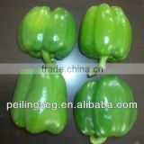 New Green Round Sweet Pepper Exporter