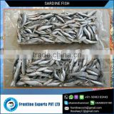 Low Price Frozen Whole Sardine Fish Supplier