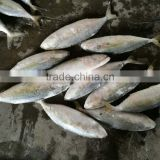 ISO FDA frozen indian mackerel fish seafood exporter