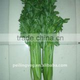 Chinese fresh celery (New crop)