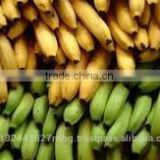 Fresh cavendish Banana Exporters In India